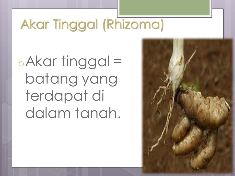 Akar Tinggal (Rhizoma) o Akar tinggal = batang yang terdapat di dalam tanah.