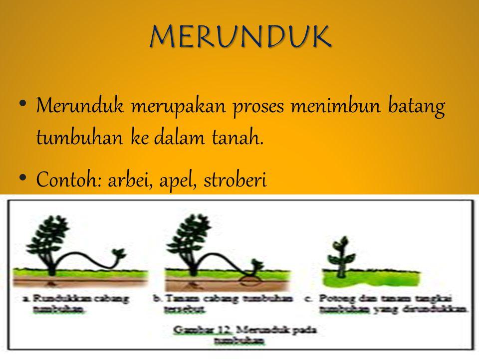 MERUNDUK Merunduk merupakan proses menimbun batang tumbuhan ke dalam tanah.
