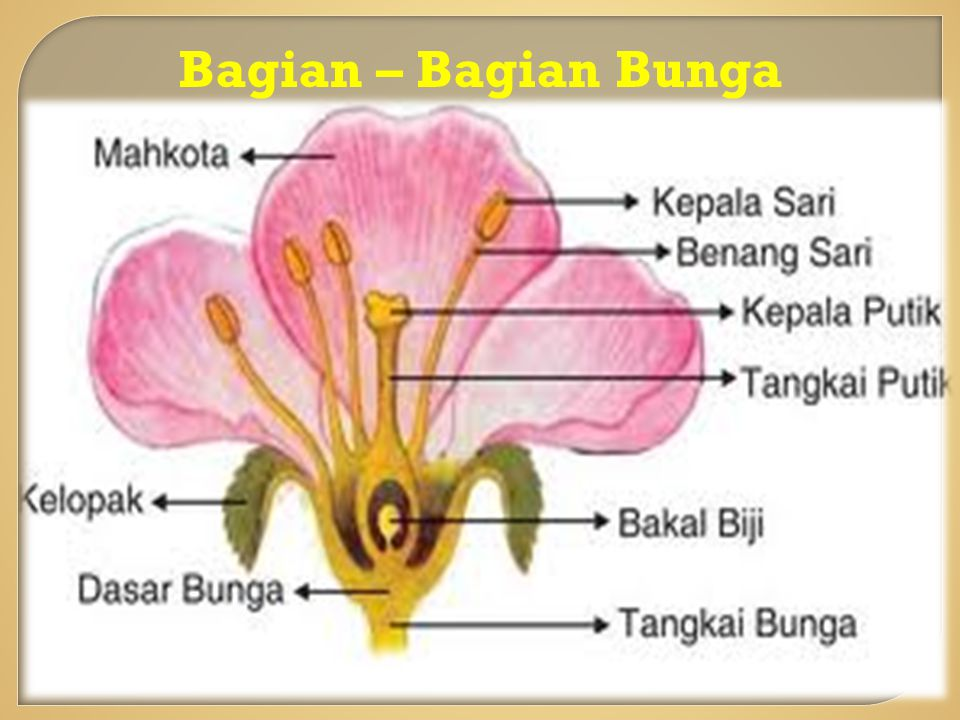 Vegetatif Alami Vegetatif alami dapat dilakukan dengan cara: 1.