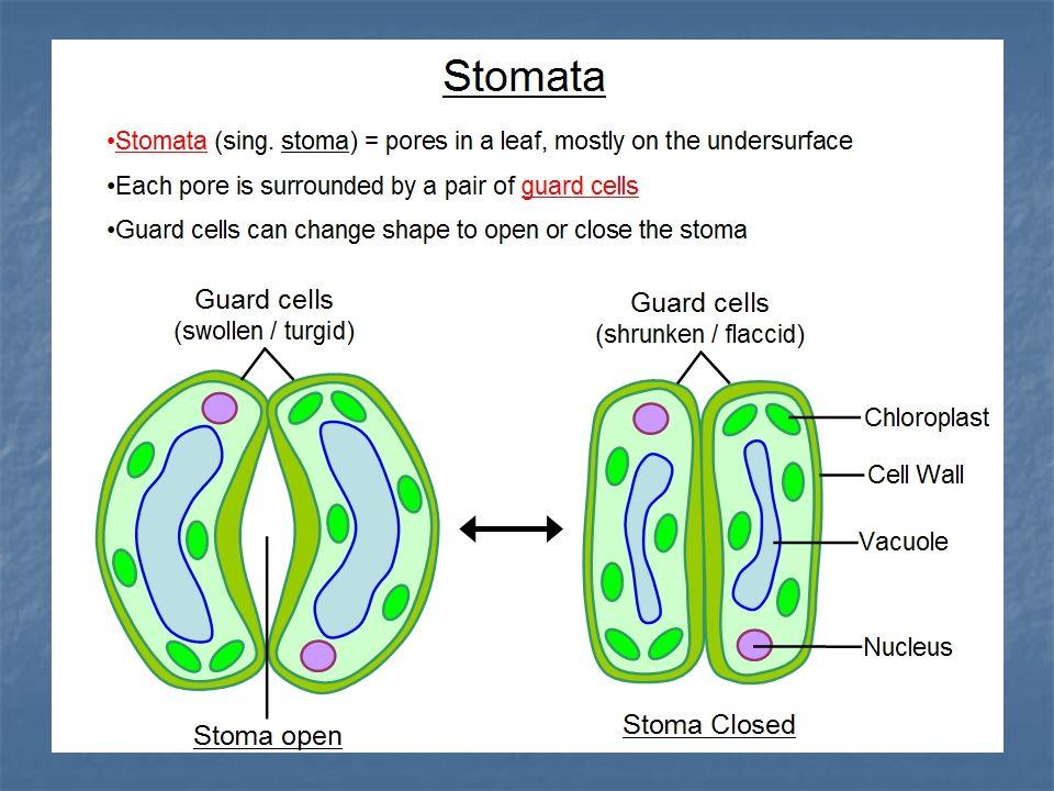 DERIVAT EPIDERMIS Merupakan sel epidermis yg mengalami diferensiasi : Stoma : 2 sel penutup yg mengandung kloroplas & plasma banyak. Stoma : 2 sel pen