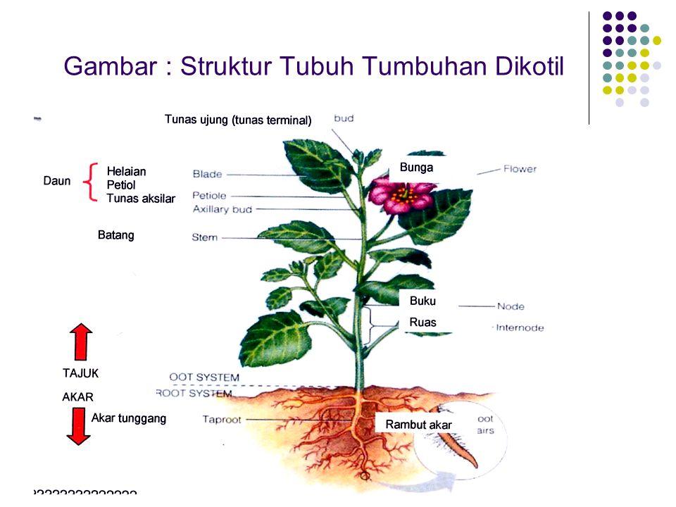 Gambar : Struktur Tubuh Tumbuhan Dikotil