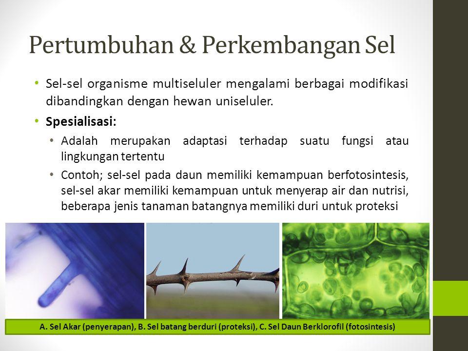 Pertumbuhan & Perkembangan Sel Diferensiasi: Adalah perubahan struktur atau komponen biokimiawi sel sehingga sel dapat membentuk bagian-bagian tubuh yang berbeda-beda Contoh; tumbuhan berasal dari sel embrio biji yang kemudian mengalami pertumbuhan dan perkembangan sehingga membentuk bagian-bagian tumbuhan seperti akar, batang, dan daun Teknologi Kultur Jaringan memungkinkan petani untuk memperbanyak jumlah tumbuhan dari satu sel yaitu sel parenkim