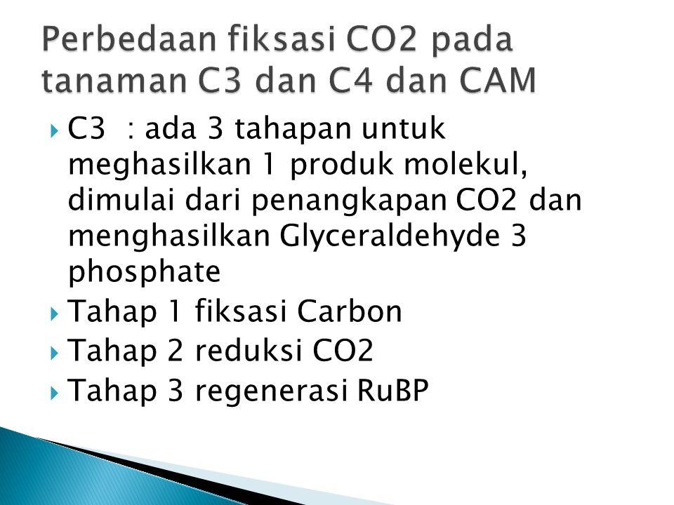  C3 : ada 3 tahapan untuk meghasilkan 1 produk molekul, dimulai dari penangkapan CO2 dan menghasilkan Glyceraldehyde 3 phosphate  Tahap 1 fiksasi Carbon  Tahap 2 reduksi CO2  Tahap 3 regenerasi RuBP