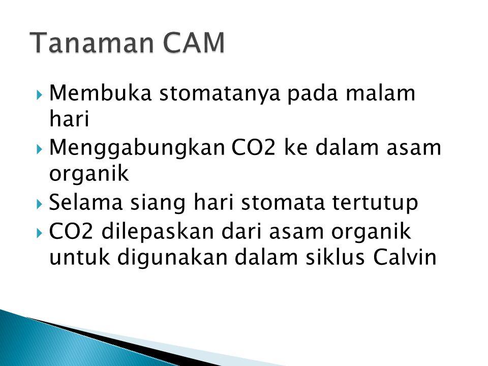  Membuka stomatanya pada malam hari  Menggabungkan CO2 ke dalam asam organik  Selama siang hari stomata tertutup  CO2 dilepaskan dari asam organik untuk digunakan dalam siklus Calvin