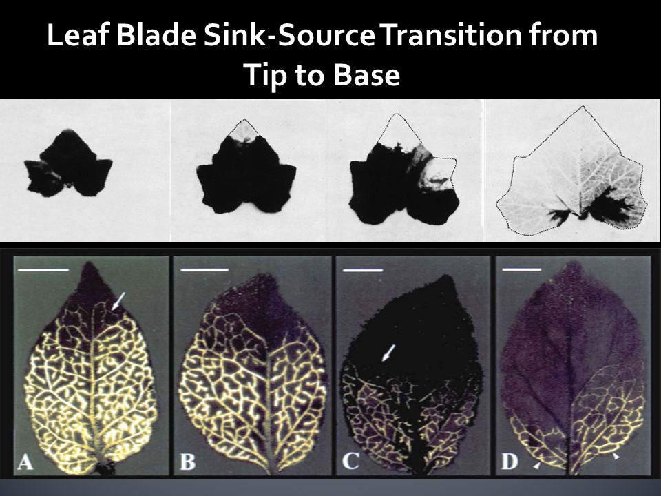 Source Leaf Sink Leaf Identifikasi Source-Sink di Daun dengan Gen GUS (GFP)