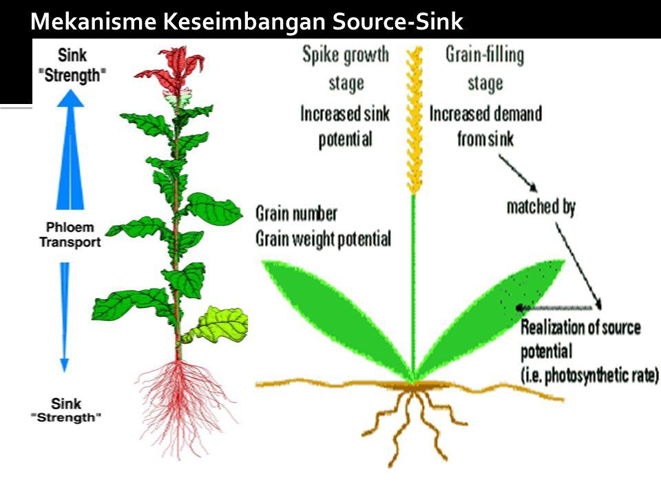 PERSAINGAN SINK: *Hambatan pertumbuhan vegetatif oleh buah *Hambatan pertumbuhan generatif oleh trubus *Pengaruh buah terhadap pembungaan *Kompetisi antar buah