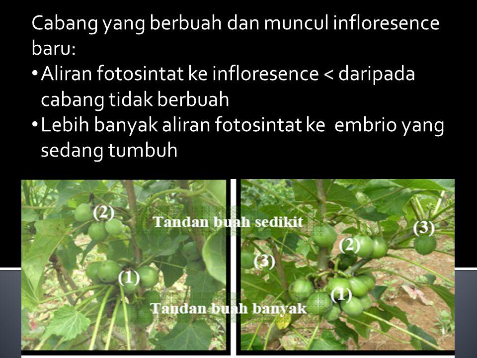 Cabang yang berbuah dan muncul infloresence baru: Aliran fotosintat ke infloresence < daripada cabang tidak berbuah Lebih banyak aliran fotosintat ke embrio yang sedang tumbuh