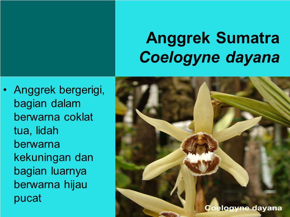 Anggrek Sumatra Coelogyne dayana Anggrek bergerigi, bagian dalam berwarna coklat tua, lidah berwarna kekuningan dan bagian luarnya berwarna hijau pucat