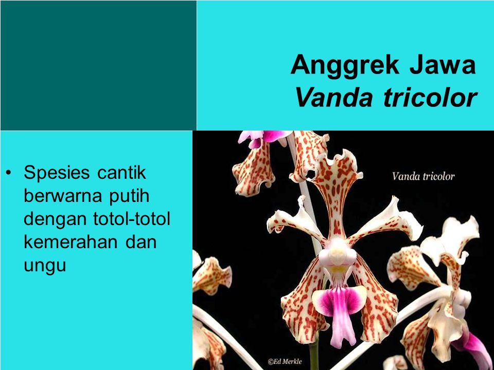 Spesies cantik berwarna putih dengan totol-totol kemerahan dan ungu Anggrek Jawa Vanda tricolor