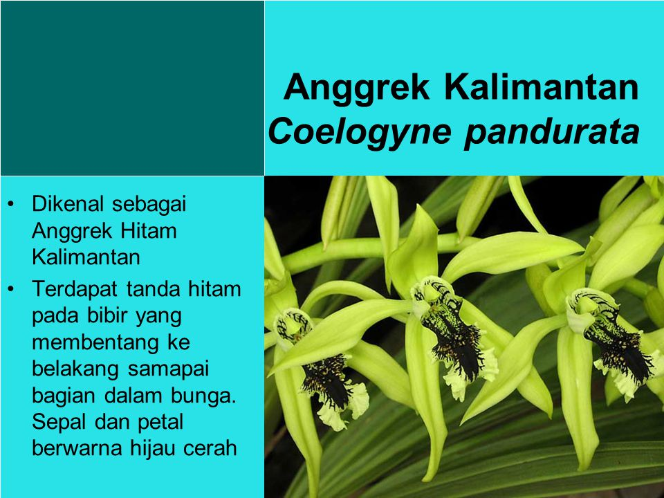 Dikenal sebagai Anggrek Hitam Kalimantan Terdapat tanda hitam pada bibir yang membentang ke belakang samapai bagian dalam bunga.
