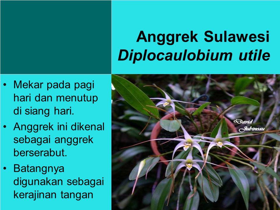 Anggrek Sulawesi Diplocaulobium utile Mekar pada pagi hari dan menutup di siang hari.