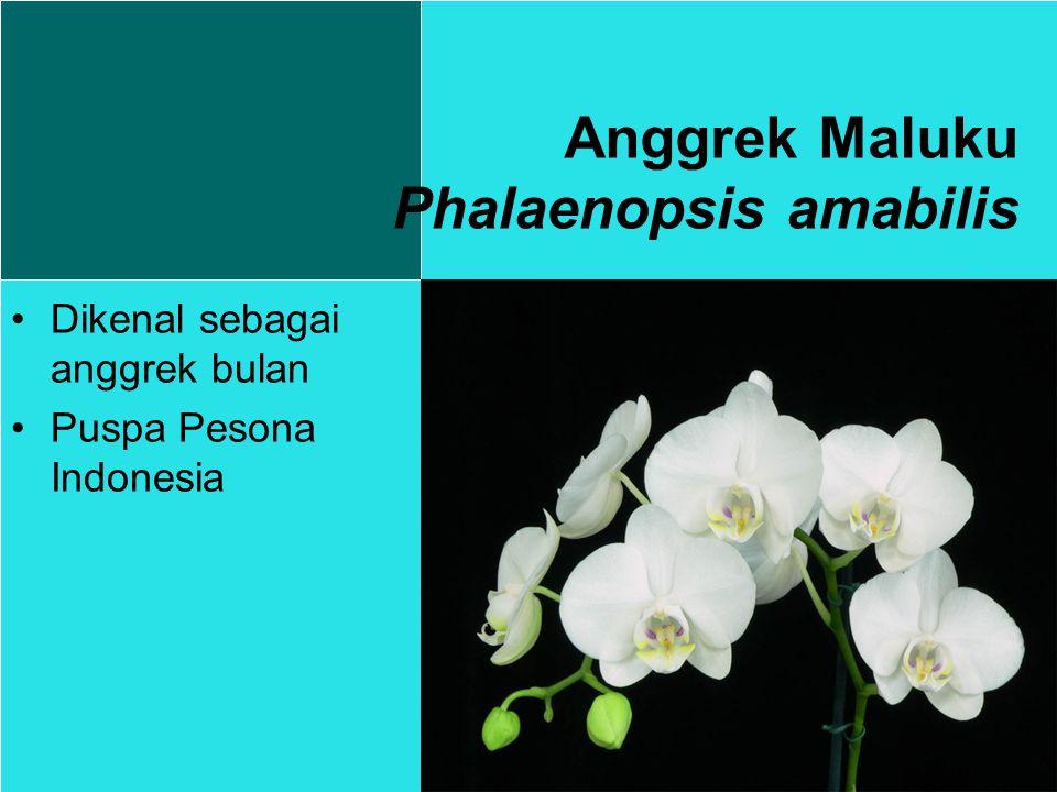 Dikenal sebagai anggrek bulan Puspa Pesona Indonesia Anggrek Maluku Phalaenopsis amabilis