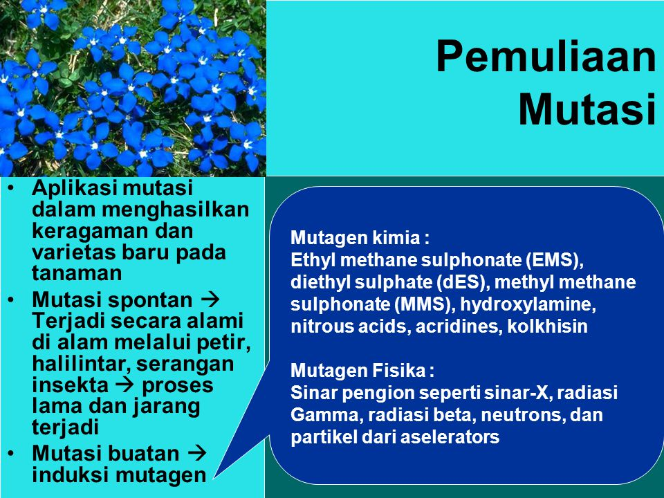 Pemuliaan Mutasi Aplikasi mutasi dalam menghasilkan keragaman dan varietas baru pada tanaman Mutasi spontan  Terjadi secara alami di alam melalui petir, halilintar, serangan insekta  proses lama dan jarang terjadi Mutasi buatan  induksi mutagen Mutagen kimia : Ethyl methane sulphonate (EMS), diethyl sulphate (dES), methyl methane sulphonate (MMS), hydroxylamine, nitrous acids, acridines, kolkhisin Mutagen Fisika : Sinar pengion seperti sinar-X, radiasi Gamma, radiasi beta, neutrons, dan partikel dari aselerators