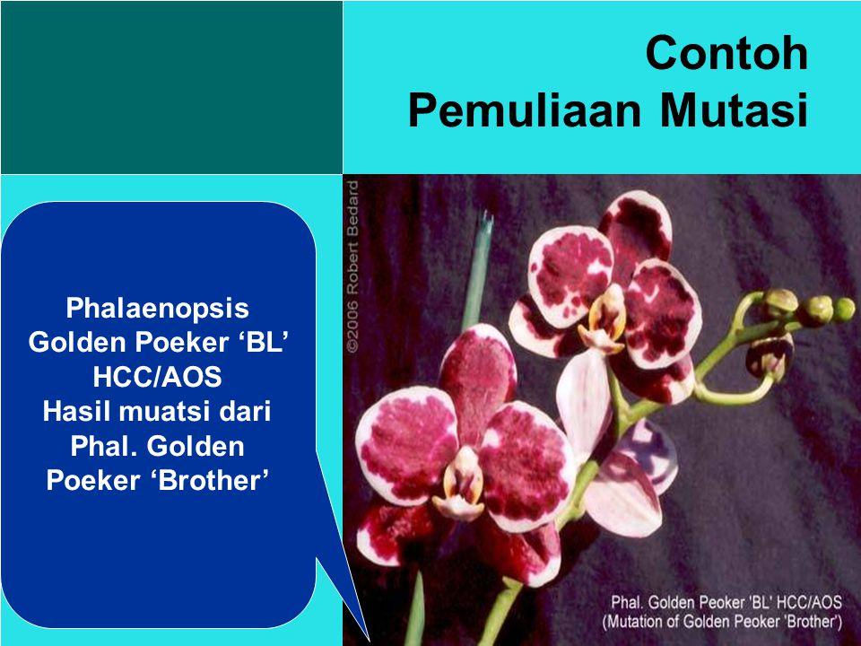 Contoh Pemuliaan Mutasi Phalaenopsis Golden Poeker 'BL' HCC/AOS Hasil muatsi dari Phal.