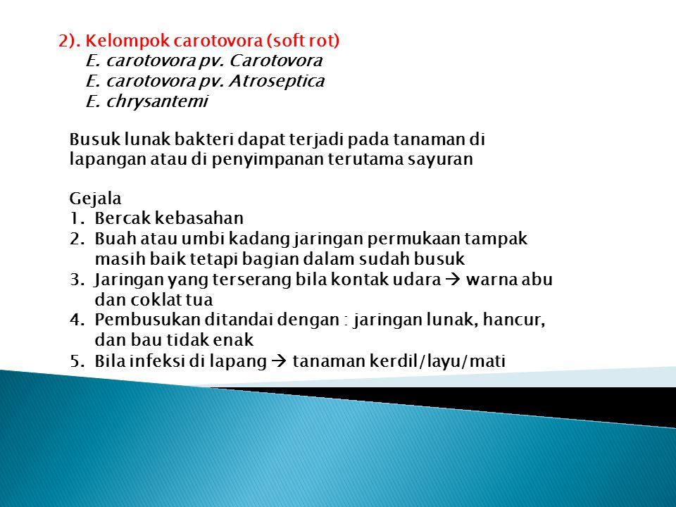 2). Kelompok carotovora (soft rot) E. carotovora pv. Carotovora E. carotovora pv. Atroseptica E. chrysantemi Busuk lunak bakteri dapat terjadi pada ta