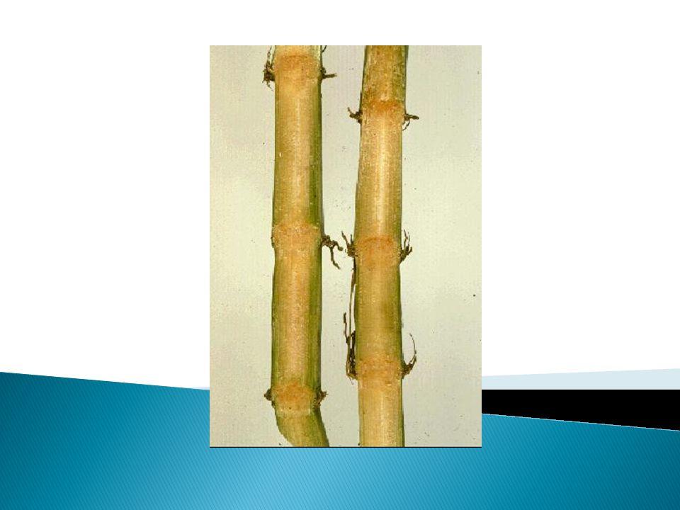 Penyebab: Bakteri Clavibacter xyli sub sp.