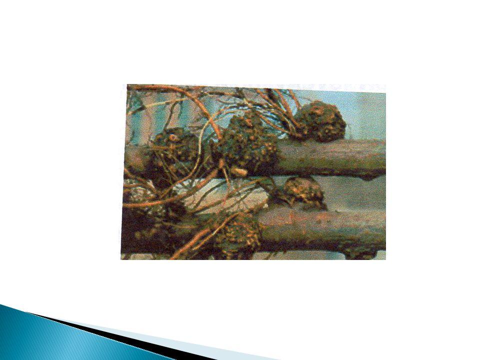 Kisaran Inang Kurang lebih 643 spesies tanaman  rentan terhadap gall Yaitu : anggur, mawar, apel dll Pengendalian 1.Perendaman dengan sel bakteri strain K84 (strain non patogenik A.