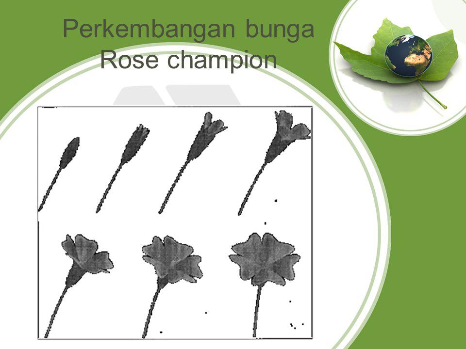 Perkembangan bunga Rose champion