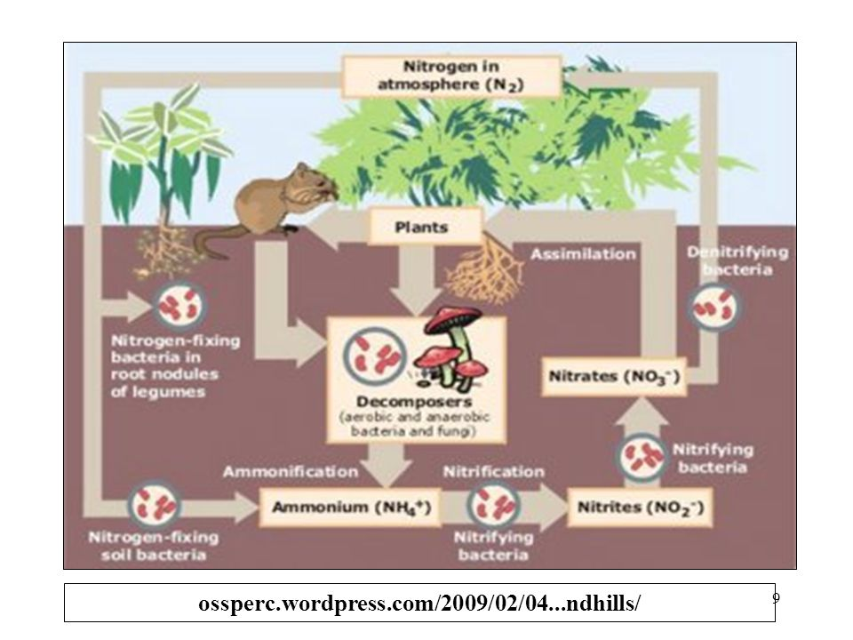 1.Bbrp hari setelah hujan lebat pertama, terjadi peningkatan N- anorganik dlm tanah 2.