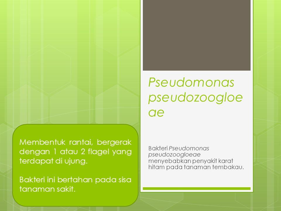 Pseudomonas pseudozoogloe ae Bakteri Pseudomonas pseudozoogloeae menyebabkan penyakit karat hitam pada tanaman tembakau. Membentuk rantai, bergerak de
