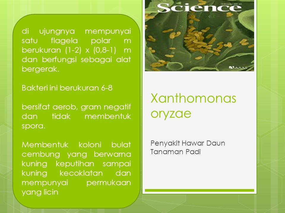 Xanthomonas oryzae Penyakit Hawar Daun Tanaman Padi di ujungnya mempunyai satu flagela polar m berukuran (1-2) x (0,8-1) m dan berfungsi sebagai alat