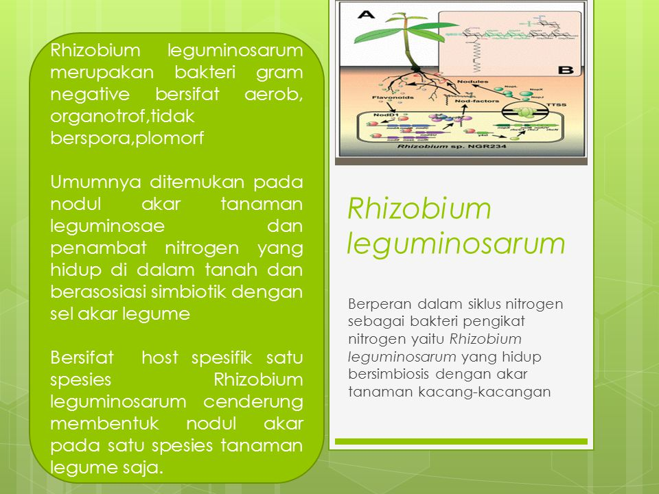 Rhizobium leguminosarum Berperan dalam siklus nitrogen sebagai bakteri pengikat nitrogen yaitu Rhizobium leguminosarum yang hidup bersimbiosis dengan akar tanaman kacang-kacangan Rhizobium leguminosarum merupakan bakteri gram negative bersifat aerob, organotrof,tidak berspora,plomorf Umumnya ditemukan pada nodul akar tanaman leguminosae dan penambat nitrogen yang hidup di dalam tanah dan berasosiasi simbiotik dengan sel akar legume Bersifat host spesifik satu spesies Rhizobium leguminosarum cenderung membentuk nodul akar pada satu spesies tanaman legume saja.