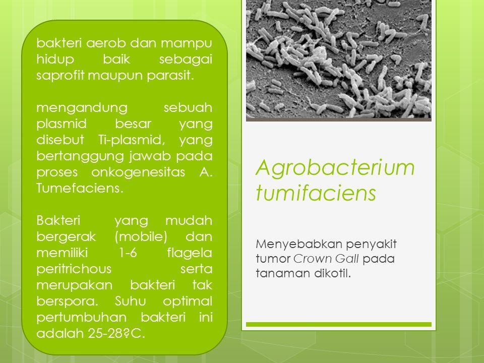 Agrobacterium tumifaciens Menyebabkan penyakit tumor Crown Gall pada tanaman dikotil. bakteri aerob dan mampu hidup baik sebagai saprofit maupun paras
