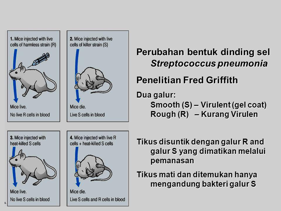 Perubahan bentuk dinding sel Streptococcus pneumonia Penelitian Fred Griffith Dua galur: Smooth (S) – Virulent (gel coat) Rough (R) –Kurang Virulen Rough (R) – Kurang Virulen Tikus disuntik dengan galur R and galur S yang dimatikan melalui pemanasan Tikus mati dan ditemukan hanya mengandung bakteri galur S