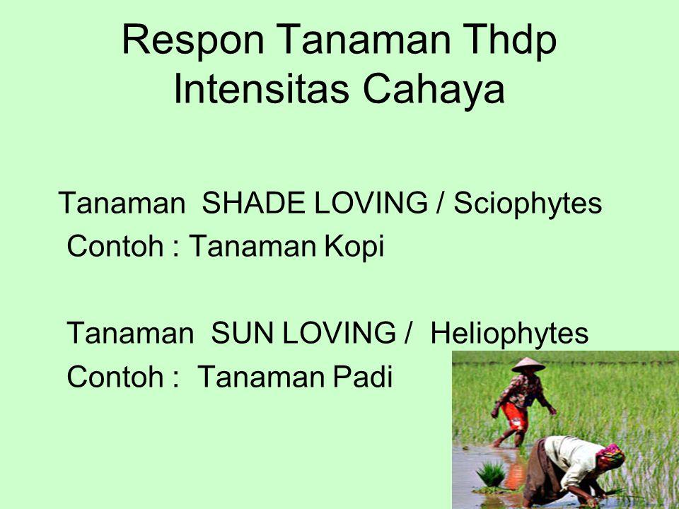 Respon Tanaman Thdp Intensitas Cahaya Tanaman SHADE LOVING / Sciophytes Contoh : Tanaman Kopi Tanaman SUN LOVING / Heliophytes Contoh : Tanaman Padi