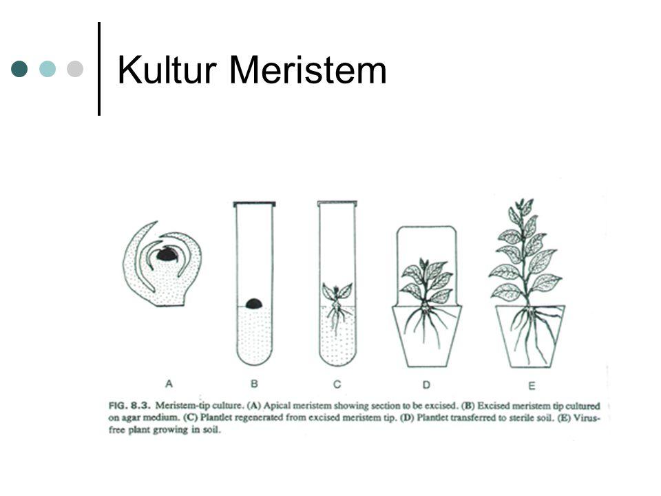 Kultur Meristem