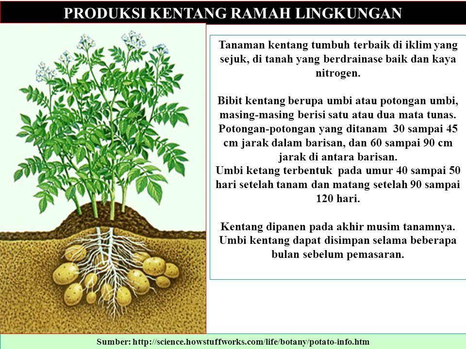 PRODUKSI KENTANG RAMAH LINGKUNGAN Tanaman kentang tumbuh terbaik di iklim yang sejuk, di tanah yang berdrainase baik dan kaya nitrogen. Bibit kentang