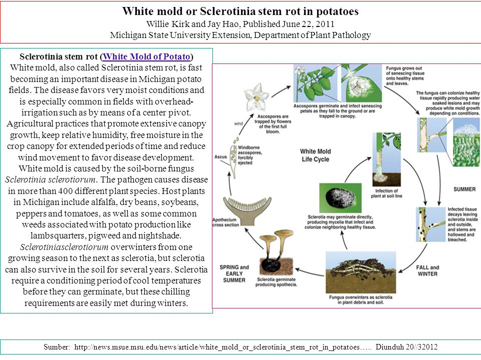 Sclerotinia stem rot (White Mold of Potato)White Mold of Potato White mold, also called Sclerotinia stem rot, is fast becoming an important disease in