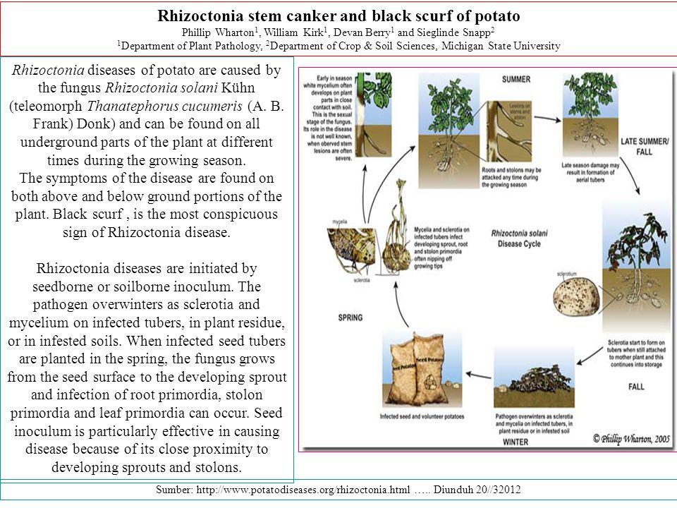 Rhizoctonia diseases of potato are caused by the fungus Rhizoctonia solani Kühn (teleomorph Thanatephorus cucumeris (A.