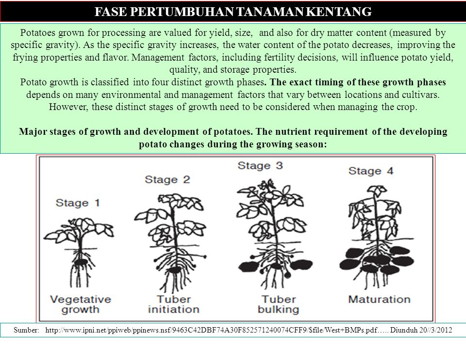 FASE PERTUMBUHAN TANAMAN KENTANG Potatoes grown for processing are valued for yield, size, and also for dry matter content (measured by specific gravity).