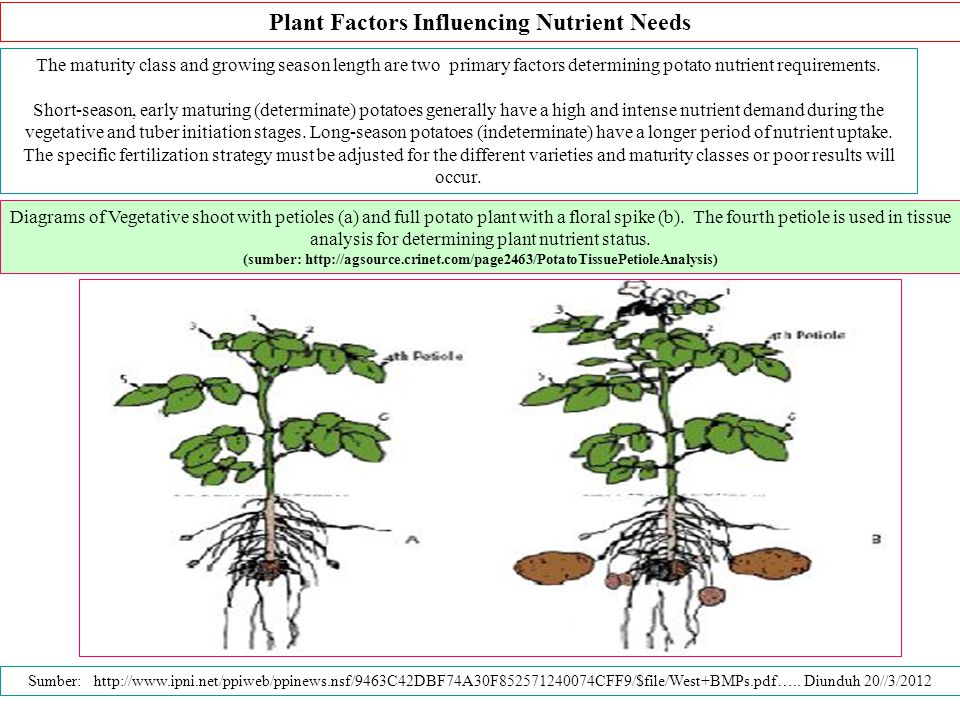 Plant Factors Influencing Nutrient Needs The maturity class and growing season length are two primary factors determining potato nutrient requirements