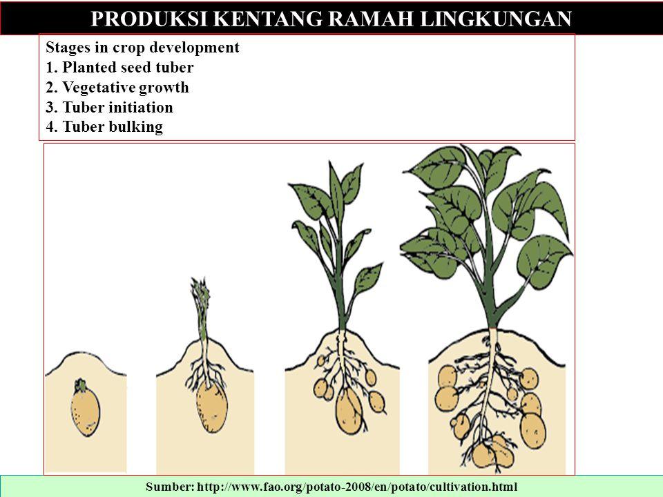 PRODUKSI KENTANG RAMAH LINGKUNGAN Stages in crop development 1. Planted seed tuber 2. Vegetative growth 3. Tuber initiation 4. Tuber bulking Sumber: h