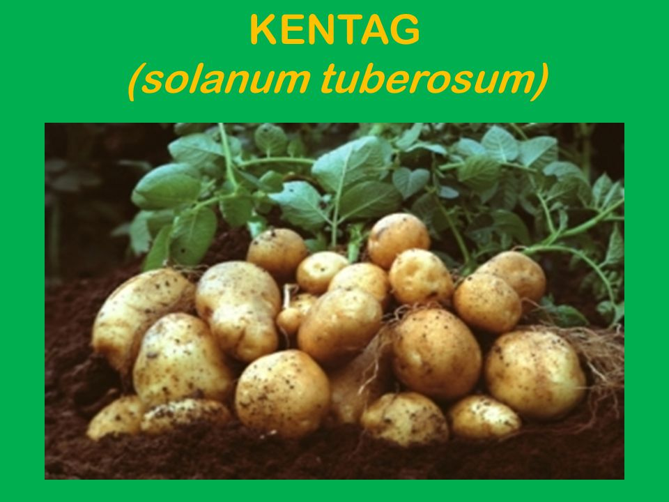 Pendahuluan Kentang (Solanum tuberosum L.) adalah tanaman dari suku Solanace yang memiliki umbi batang yang dapat dimakan dan disebut kentang pula.Tanaman ini merupakan herba (tanaman pendek tidak berkayu).