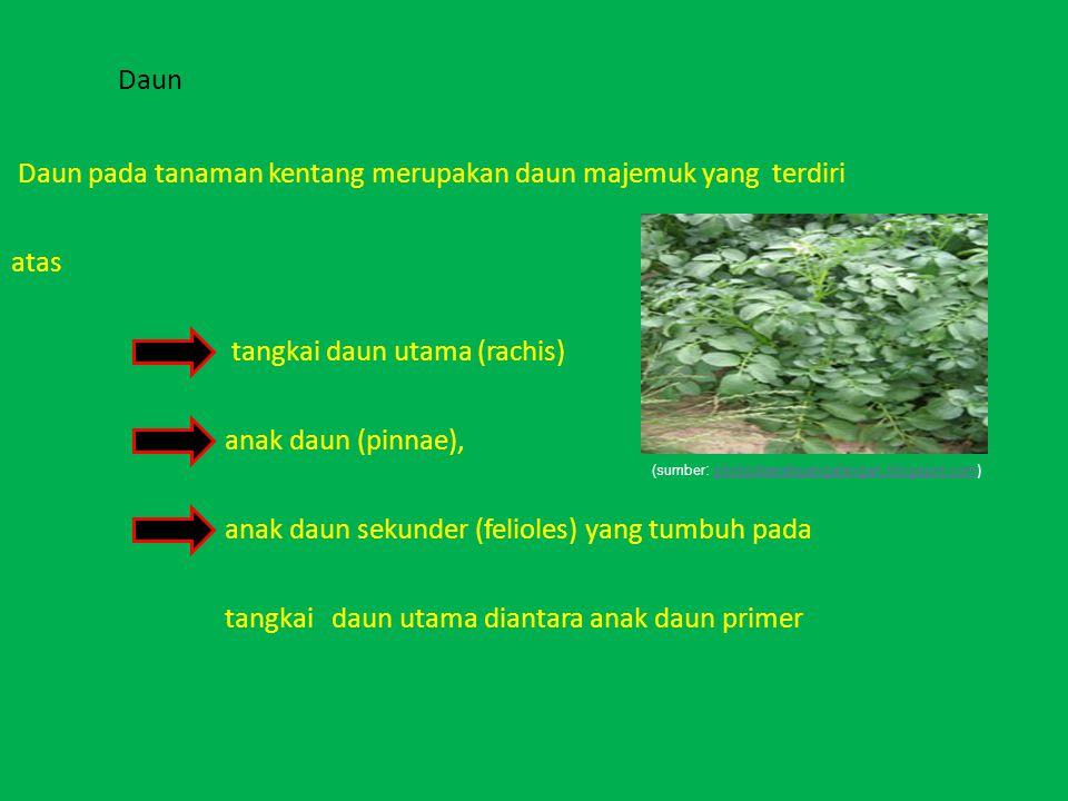 Daun Daun pada tanaman kentang merupakan daun majemuk yang terdiri atas tangkai daun utama (rachis) anak daun (pinnae), anak daun sekunder (felioles)