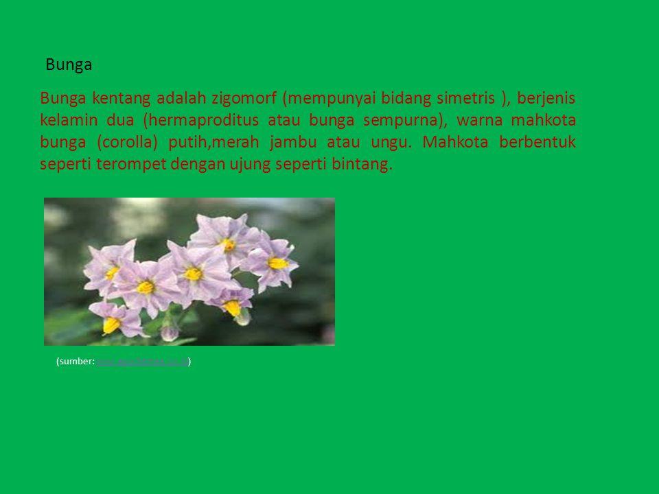 Bunga Bunga kentang adalah zigomorf (mempunyai bidang simetris ), berjenis kelamin dua (hermaproditus atau bunga sempurna), warna mahkota bunga (corol