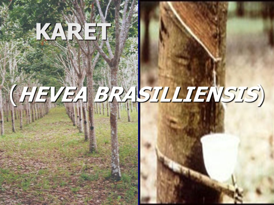 PENDAHULUAN Tanaman karet (Hevea brasilliensis) merupakan salah satu komoditi perkebunan yang menduduki posisi cukup penting sebagai sumber devisa non migas bagi Indonesia, sehingga memiliki prospek yang cerah.