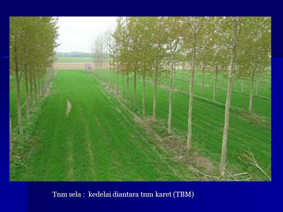 Tnm sela : kedelai diantara tnm karet (TBM)