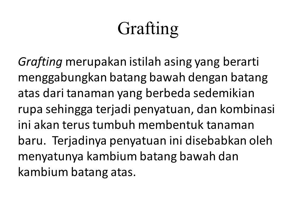 Grafting Grafting merupakan istilah asing yang berarti menggabungkan batang bawah dengan batang atas dari tanaman yang berbeda sedemikian rupa sehingg