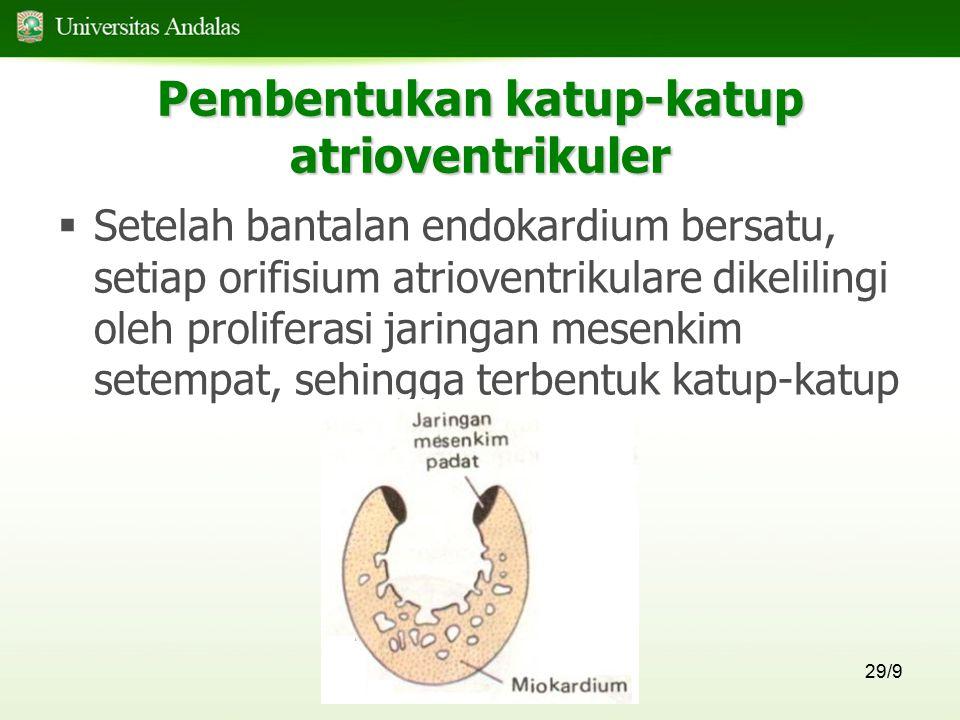 29/9 Pembentukan katup-katup atrioventrikuler  Setelah bantalan endokardium bersatu, setiap orifisium atrioventrikulare dikelilingi oleh proliferasi
