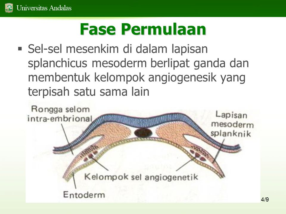 15/9 Septum Interatrial  Membagi atrium atas kiri dan kanan  Terdiri atas : septum primum dan septum sekundum yang saling overlap  Kedua bagian ini berhubungan dengan massa jaringan yang disebut bantalan endokardium
