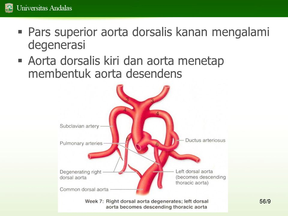 56/9  Pars superior aorta dorsalis kanan mengalami degenerasi  Aorta dorsalis kiri dan aorta menetap membentuk aorta desendens