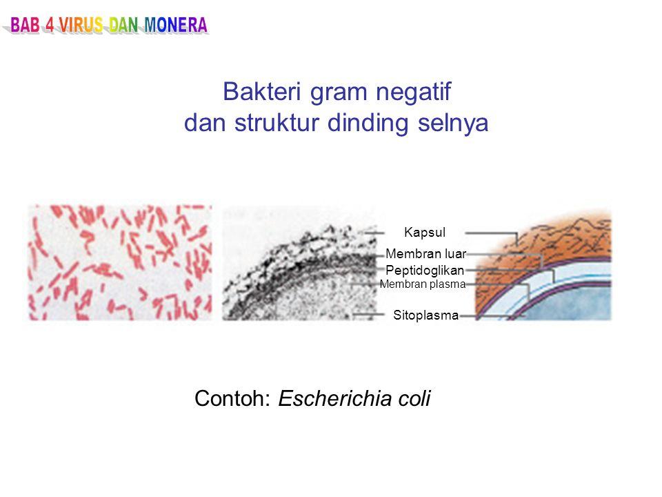 Bakteri gram negatif dan struktur dinding selnya Contoh: Escherichia coli Kapsul Membran luar Peptidoglikan Membran plasma Sitoplasma