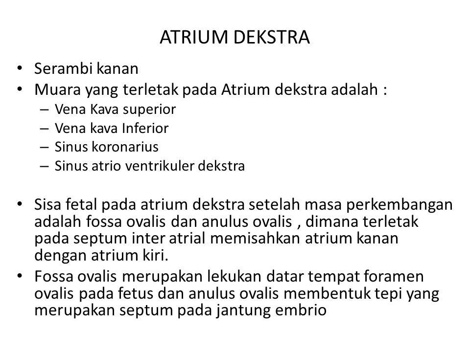 ATRIUM DEKSTRA Serambi kanan Muara yang terletak pada Atrium dekstra adalah : – Vena Kava superior – Vena kava Inferior – Sinus koronarius – Sinus atr
