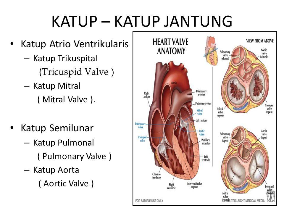 KATUP – KATUP JANTUNG Katup Atrio Ventrikularis – Katup Trikuspital ( Tricuspid Valve ) – Katup Mitral ( Mitral Valve ). Katup Semilunar – Katup Pulmo