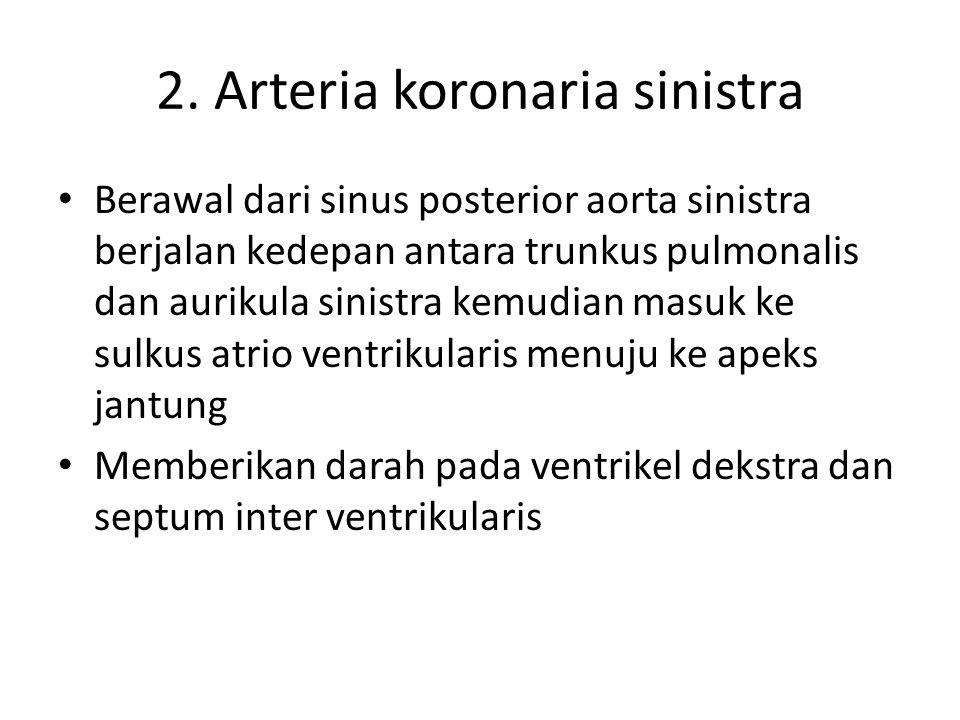 2. Arteria koronaria sinistra Berawal dari sinus posterior aorta sinistra berjalan kedepan antara trunkus pulmonalis dan aurikula sinistra kemudian ma