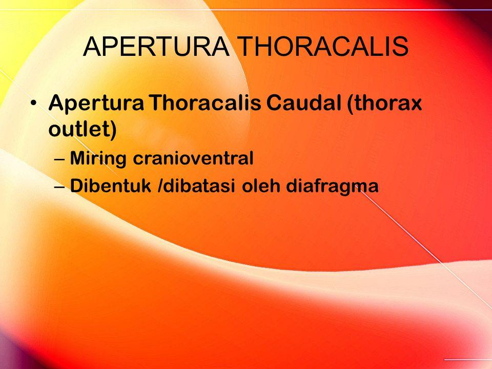 APERTURA THORACALIS Apertura Thoracalis Caudal (thorax outlet) – Miring cranioventral – Dibentuk /dibatasi oleh diafragma